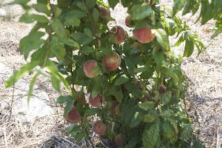 The Clueless Farmers Contemplate Their Peaches