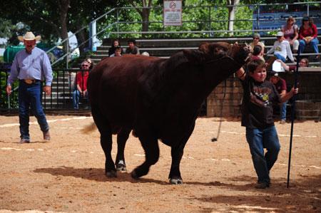 bull at sonoma county fair