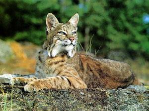 Bobcat Encounter!
