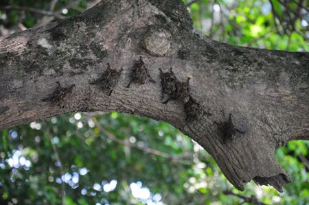 Belizean proboscis bats
