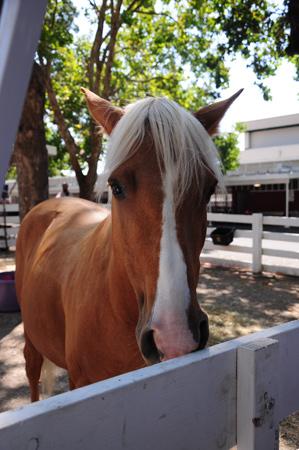 Santa Cruz Island pony