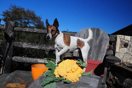 terrier and cauliflower