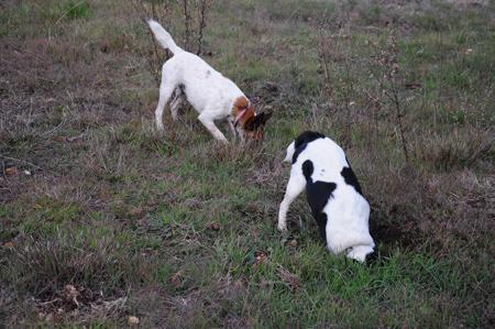 digging terriers