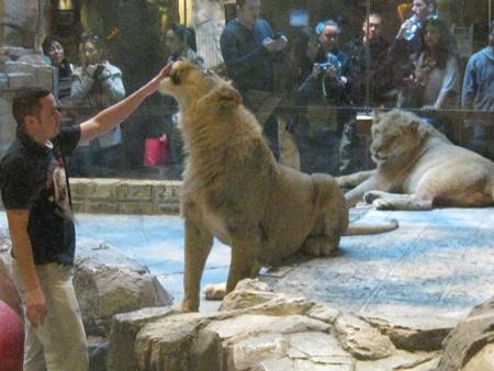 MGM Grand Lion Habitat