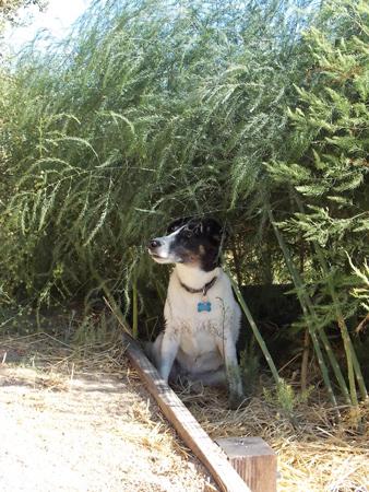 smooth fox terrier in asparagus