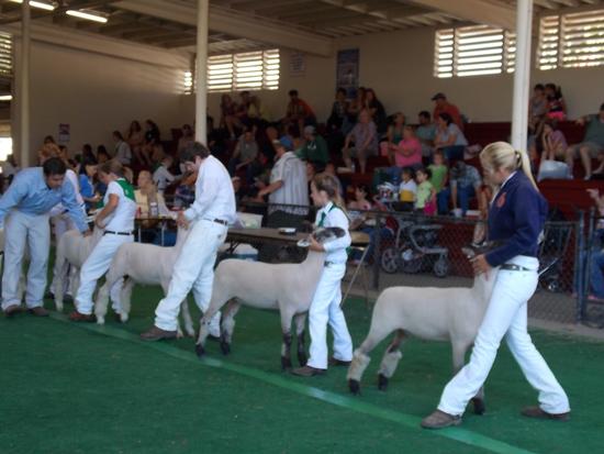 livestock showing
