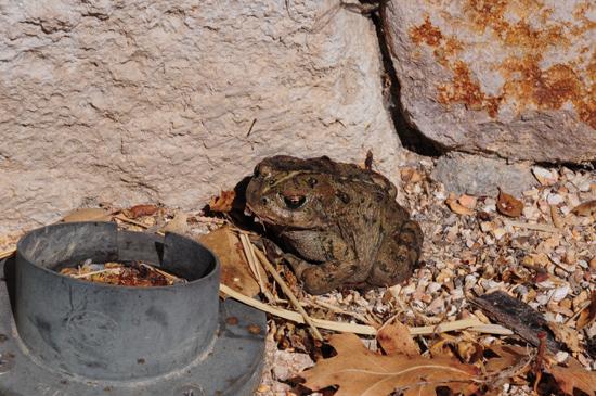 sonoma toad