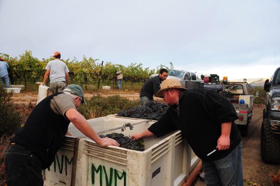cabernet harvest, two terrier vineyards