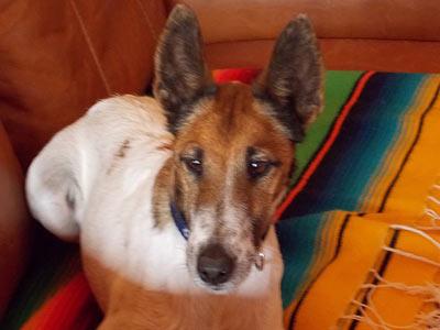 A Smooth Fox Terrier Christmas Carol
