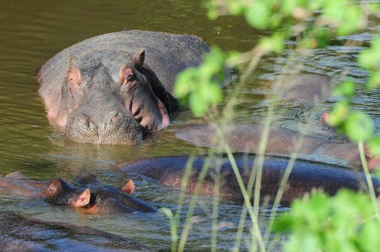 Winking hippo.
