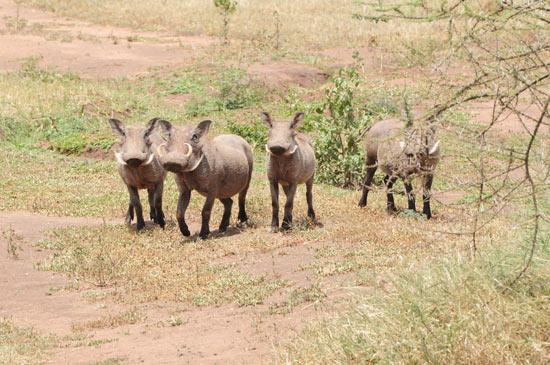 Warthog patrol!
