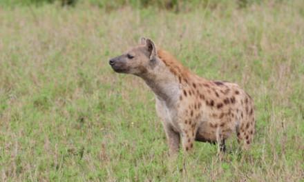 Lions versus Hyenas