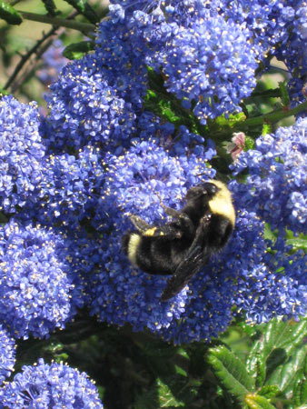 ceanothusandbee