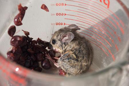 mouseinwine